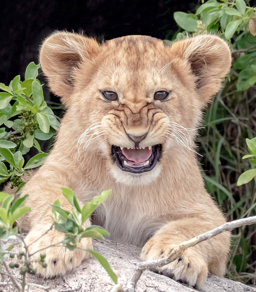 Lion cub in den with scowl web ready
